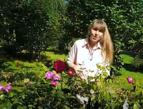 Video: Rosen für Bienen, Hummeln & Co