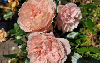 Rose Gärtnerfreude